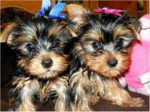 healthy and playful Yorkie Puppies Adoption - Animals