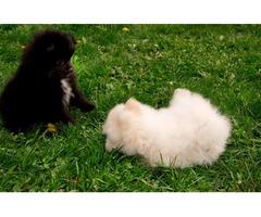 11 weeks old White Pomeranian