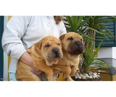Registered Shar-Pei Puppies available