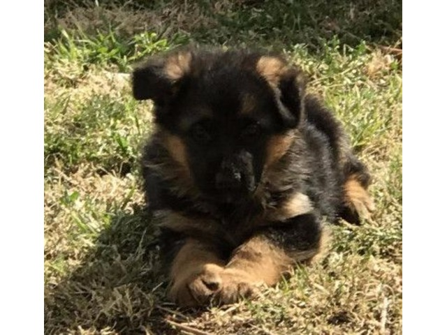 German Shepherd Puppies Animals Las Cruces New Mexico