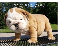 Unique English Bulldog Puppies 50% OFF!