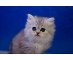regsdrge ragdoll kittens