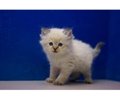 Cute Pure Breed kittens males & female