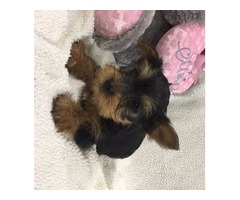 I have four adorable yorkie puppies