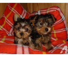 Adorable nice pug puppies for sale