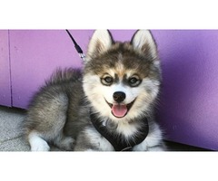 Purebred husky puppies