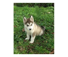 cute and aoorable male and female siberian huskies for sale