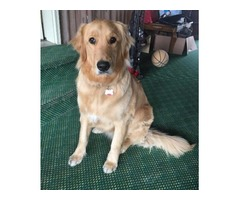 1 year old male pure bred Golden Retriever