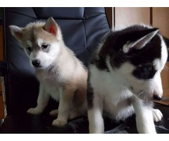 Beautiful Siberian Husky puppies in need of a home