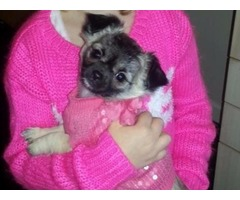 Beautiful long haired chihuahua pups available