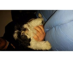 shih tzu Imperial baby's,american lines-ready now