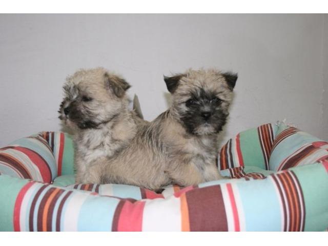 Cairn terrier X Bichon puppies - Animals - Bloomfield