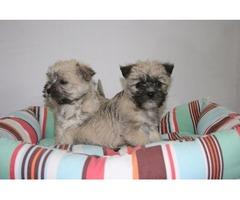 Cairn terrier X Bichon puppies