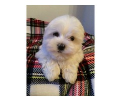Tiny Maltese Puppies For Sale Ready Now