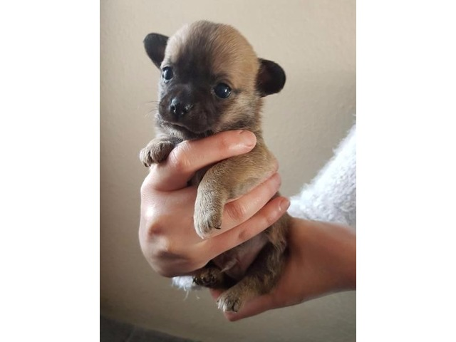 Chihuahua pups | free-classifieds-usa.com
