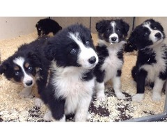 Fluffy Traditional Border Collie Puppies