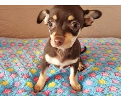 FULLY VACCINATED KC REG CHIHUAHUA BOY PUPPY