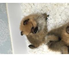 Pomeranian Puppies Orange Sable