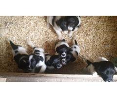 4 gorgeous springer spaniel pups