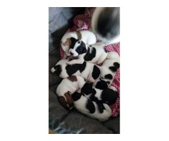 Staffajack puppies