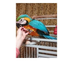 blue and Gold Macaw birds available