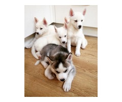 Cute Male And Female Siberian Husky Puppies for good homes