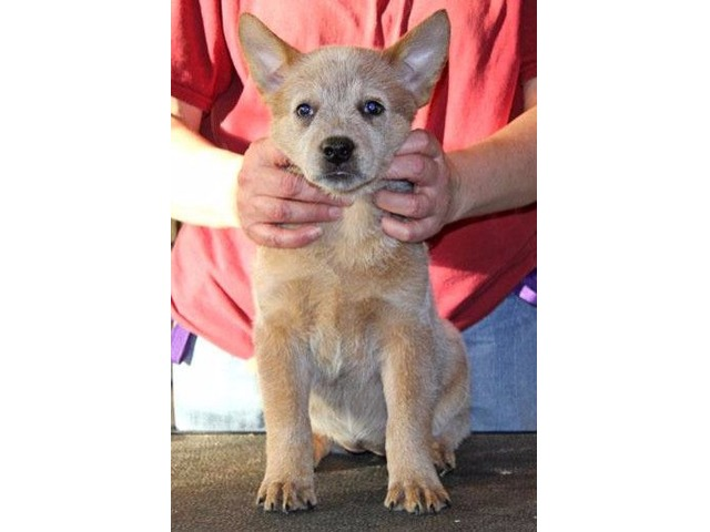 akc australian cattle dog