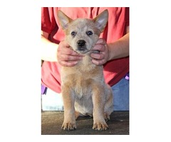 AKC Australian cattle dog red heeler female