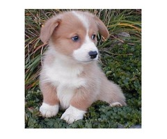 Adorable Male And Female pembroke welsh corgi  Puppies