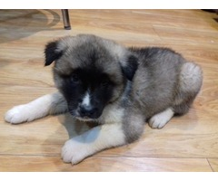 MALE AND FEMALE AKITA PUPPIES