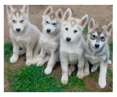 husky puppies to any loving and caring family that is willing to render
