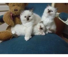 Beautiful Birman Kittens