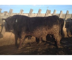 Registered Angus long yearling bulls for sale