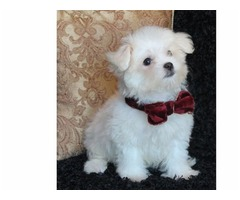 Adorable outstanding Maltese puppies | free-classifieds-usa.com