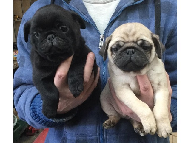 akc pug puppies for sale akc registered pug puppies available animals chartley 2584