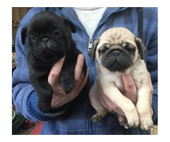 akc registered pug puppies available