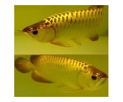 Super Red , Asian Red , Chili Red Arowana Fish For Sale