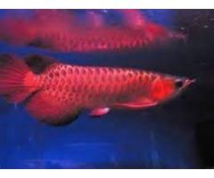 Back Red Tail Golden, Red Tail Golden Splendour, Chilli Red Arowana For Sale