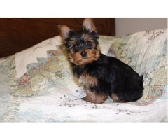 ADORABLE AKC Registered  Yorkie Puppies.