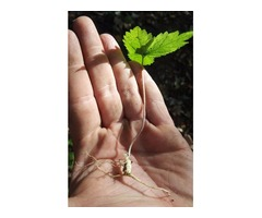 Ginseng rootlets for sale