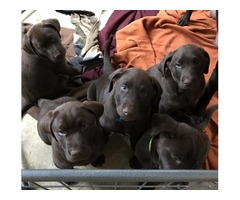 AKC Reg Chocolate Lab Puppies