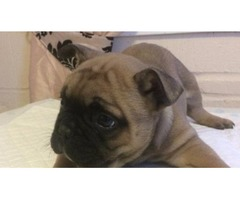 French bulldog (male and female)