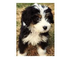 BERNEDOODLE PUPPIES COMING SOON