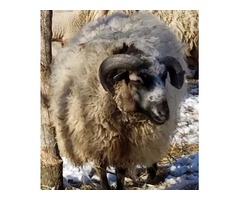 Jacob/Shetland Ram