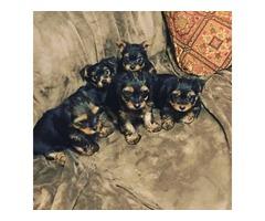 Mini Tea Cup  Yorkie Puppies
