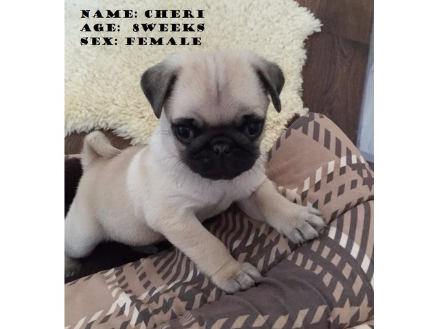 Pug Puppies For Sale Animals Huntsville Alabama Announcement