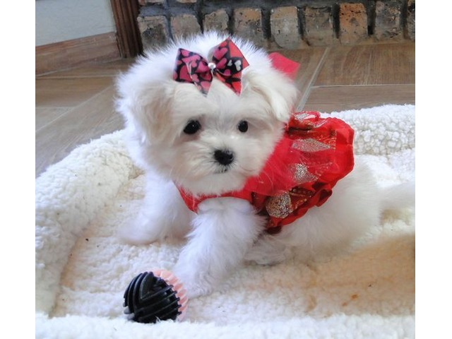 Quality Maltese Puppies For Adoption Now
