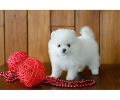 Pomeranian Puppies for free to a Good Home