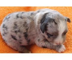Mini Aussie Pups, ASDR