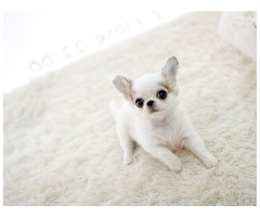 Cute mini chihuahua pupps available for christian home